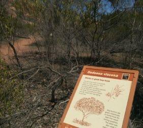 Giant Hop Bush at Mount Wudinna, South Australia