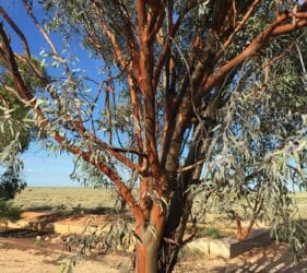 Red gum tree behind the old School House at our camp at Cook