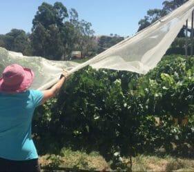 Leonie covering vines at Glen & Sarah Swaby's vineyard, Gumeracha