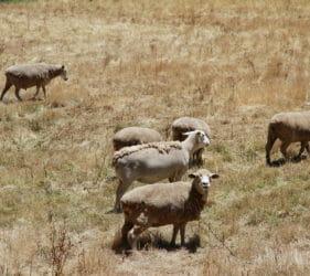 John & Lynette O'Dea's dorper sheep at Gumeracha