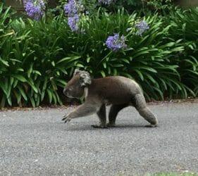 Koala walking past on Australia Day