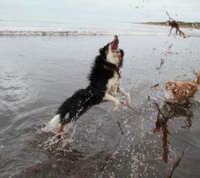 Hugo chasing water on Middleton Beach with Georgie barking